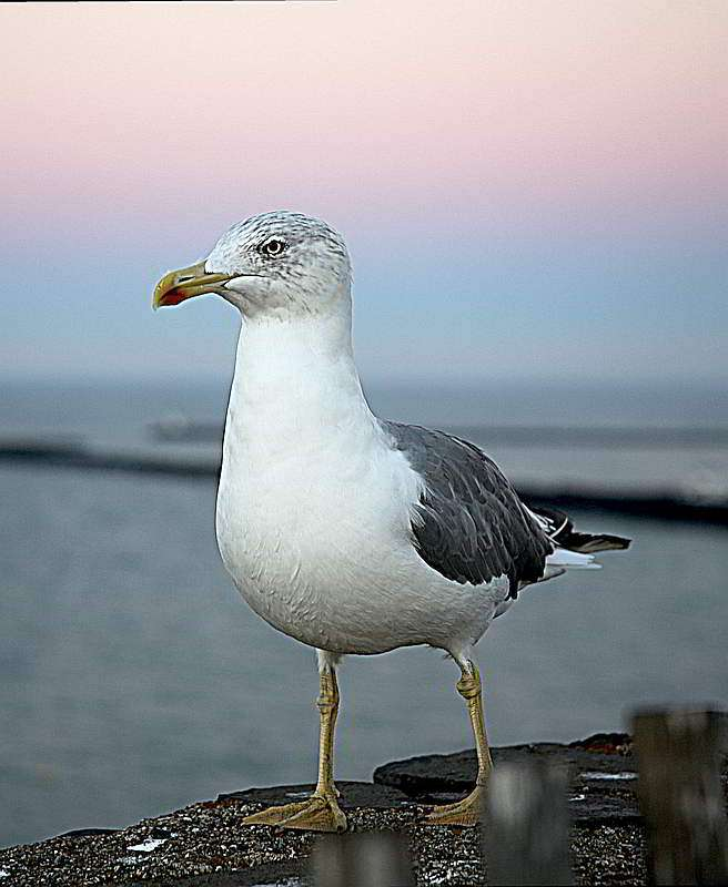 Shifty eyed seagull